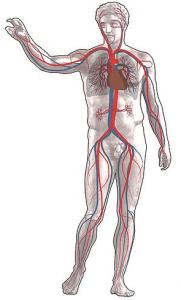Hoeveel Bloed zit er in een lichaam?
