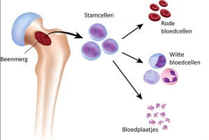 witte bloedcellen beenmerg